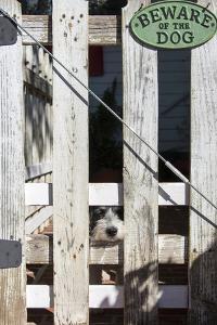 USA, Georgia. Humorous scene of innocent tame puppy under 'Beware of Dog' sign by Trish Drury