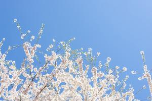 USA, Georgia Sign of Spring Cherry Tree Blossoms Against Blue Sky by Trish Drury