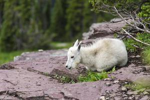 USA, MT, Glacier NP. Logan Pass. Mountain Goat Kid Hunkers Down in Cold by Trish Drury