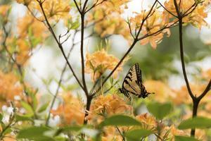 USA, Tennessee, Great Smoky Mountains National Park Tiger Swallowtail butterfly on Flame Azalea by Trish Drury