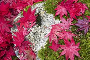 USA, Washington State. Fallen autumn Japanese maple leaves contrast to rock and moss by Trish Drury