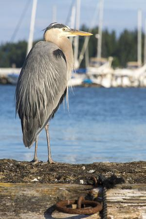 USA, Washington State, Poulsbo Great Blue Heron on marine floatation.