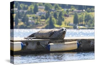Washington, Poulsbo Harbor Seal Hauled Out Has Whimsical Curled Whiskers