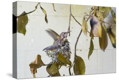 Washington, Rufous Hummingbird Chicks in Nest Practice Flapping in Preparation of Fledging
