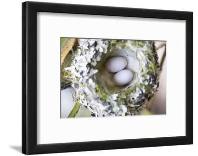 Washington, Rufous Hummingbird Nest with Eggs
