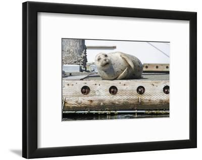 Washington State, Poulsbo. Harbor Seal Winks While Hauled Out on Dock