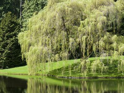 Weeping Willow, Japanese Gardens, Bloedel Reserve, Bainbridge Island, Washington, USA