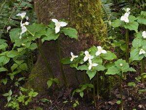 Western Trillium, Grand Forest Bainbridge Island Land Trust Park, Bainbridge Island, Washington USA by Trish Drury