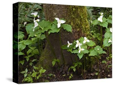 Western Trillium, Grand Forest Bainbridge Island Land Trust Park, Bainbridge Island, Washington USA