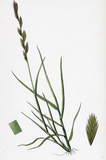 Triticum Acutum Decumbent Sea Couch-Grass--Giclee Print