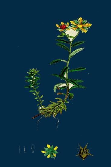 Triticum Junceum; Sand Couch-Grass--Giclee Print