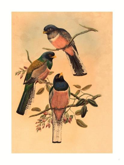 Trogan Variegatus, Probably 1836-1838- Gould & Hart-Giclee Print
