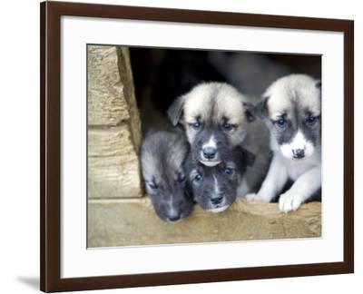 Troms, Tromso, Young Husky Puppies, Bred for a Dog Sledding Centre, Crowd Kennel Doorway , Norway-Mark Hannaford-Framed Photographic Print