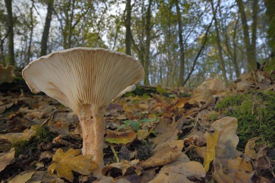 Trooping Funnel (Monk's Head Mushroom) (Clitocybe) (Infundibulicybe Geotropa)-Nick Upton-Photographic Print