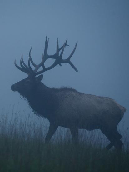 Trophy Bull Elk with Huge Record Class Antlers, in Fog and Mist, in Western Pennsylvania near Benez-Tom Reichner-Photographic Print