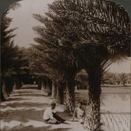 'Tropical beauty of an avenue of date palms, Moanalua near Honolulu, H. Is.' c1900-Unknown-Photographic Print
