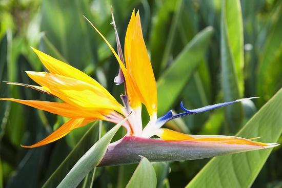 Tropical Bird of Paradise Flower in Full Bloom Oahu, Hawaii, United States of America-Design Pics Inc-Photographic Print