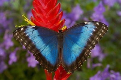 https://imgc.artprintimages.com/img/print/tropical-butterfly-the-blue-morpho-morpho-granadensis-on-ginger-flower_u-l-q1cz3ia0.jpg?p=0