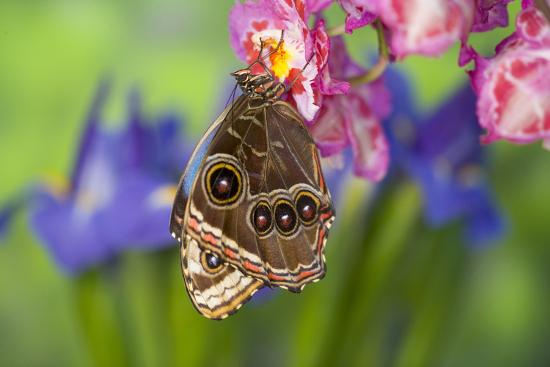 Tropical Butterfly the Blue Morpho wings closed on orchid-Darrell Gulin-Premium Photographic Print