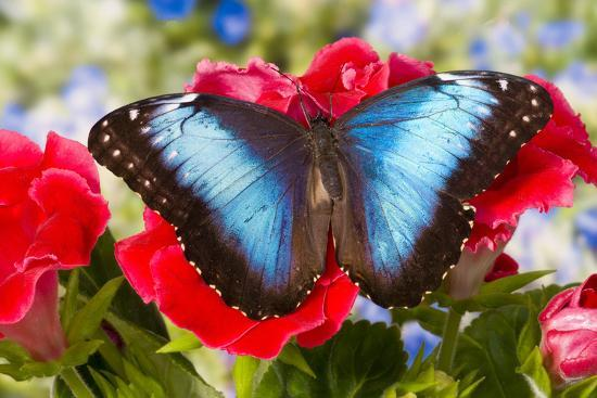Tropical Butterfly the Blue Morpho-Darrell Gulin-Premium Photographic Print