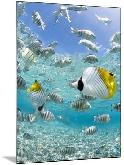 Tropical Fish in Bora-Bora Lagoon-Michele Westmorland-Mounted Photo