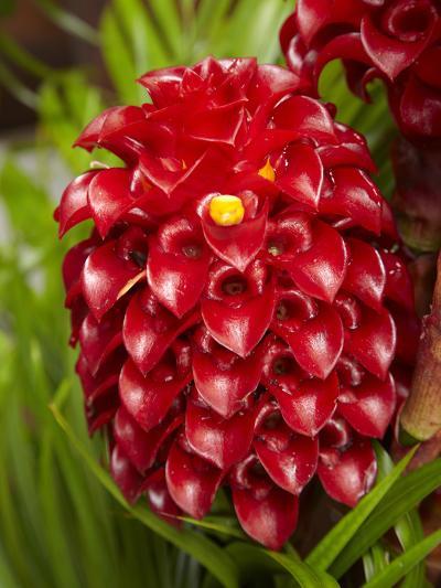 Tropical Flower in Garden, Coral Coast, Viti Levu, Fiji, South Pacific-David Wall-Photographic Print
