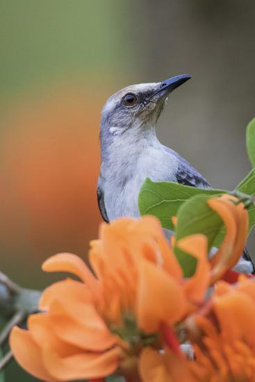 Tropical Mockingbird-Ken Archer-Photographic Print