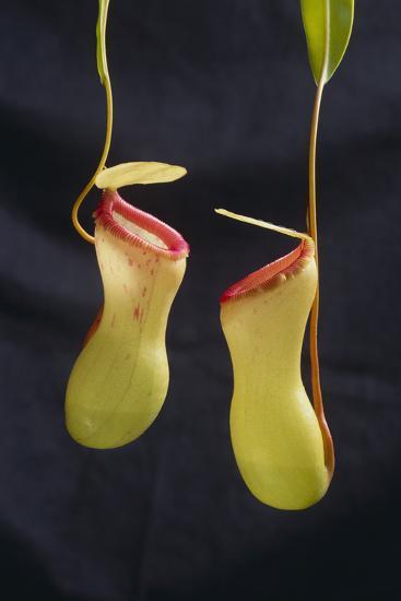 Tropical Pitcher Plant-DLILLC-Photographic Print