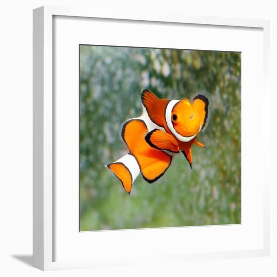 Tropical Reef Fish - Clownfish (Amphiprion Ocellaris) Macro With Shallow Dof-Kletr-Framed Photographic Print