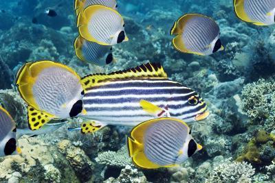 Tropical Reef Fish-Georgette Douwma-Photographic Print