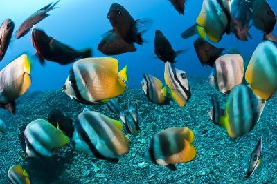 Tropical Reef Fish-Matthew Oldfield-Photographic Print