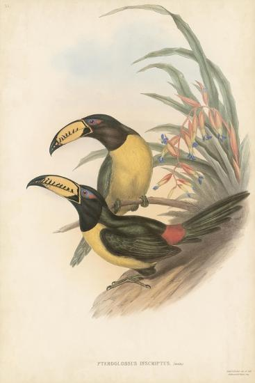 Tropical Toucans IV-John Gould-Art Print