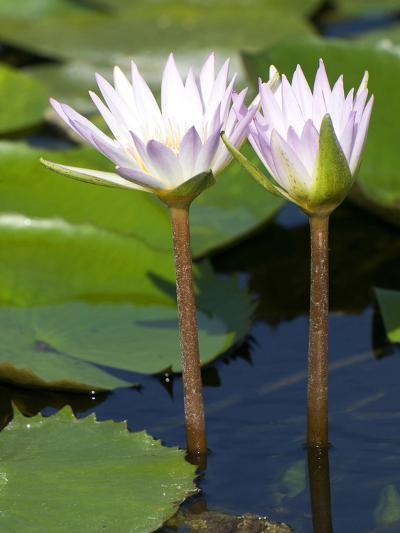 Tropical Water Lilies, Nymphaea Species, Growing in a Thermal Pond-Joe Petersburger-Photographic Print