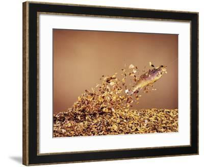 Trout Flying Out of Bed of Almonds in Preparation For Trout Amandine-John Dominis-Framed Photographic Print