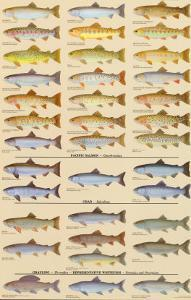 Trout, Salmon & Char of North America II