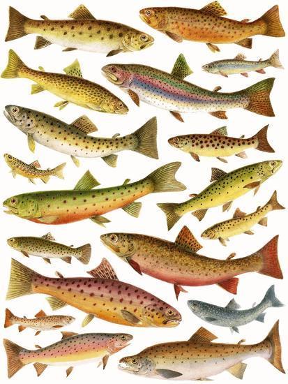 Trout-English School-Giclee Print
