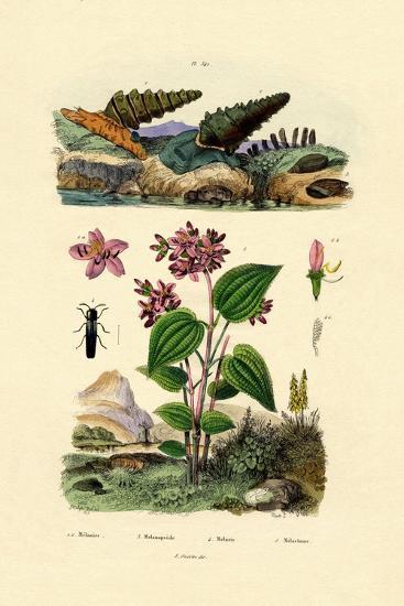 Trumpet Snail, 1833-39--Giclee Print