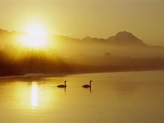 Trumpeter Swan (Cygnus Buccinator) Pair on Lake at Sunset, North America-Michael S^ Quinton-Photographic Print