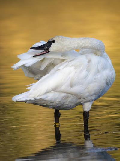 Trumpeter Swan Preening, Yellowstone National Park, Wyoming-Maresa Pryor-Photographic Print