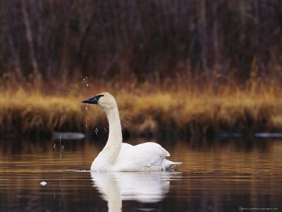 Trumpeter Swan Shaking Water Droplets From It's Head-Michael S^ Quinton-Photographic Print