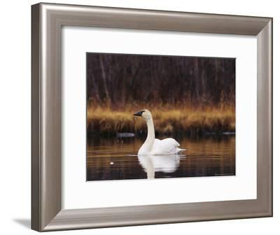 Trumpeter Swan Shaking Water Droplets From It's Head-Michael S^ Quinton-Framed Photographic Print
