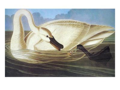 https://imgc.artprintimages.com/img/print/trumpeter-swan_u-l-p9d4zh0.jpg?artPerspective=n