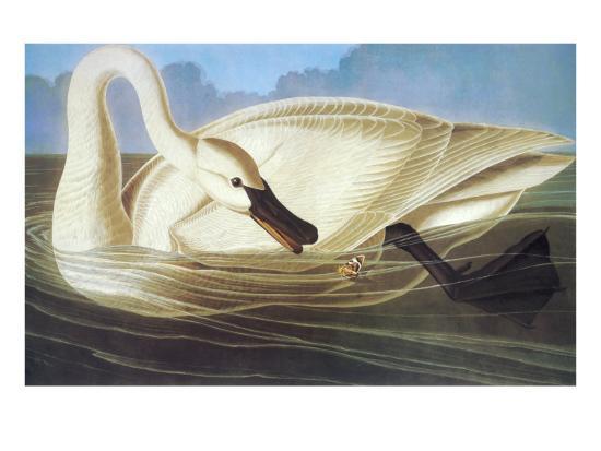 Trumpeter Swan-John James Audubon-Art Print