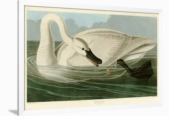 Trumpeter Swan-John James Audubon-Framed Giclee Print