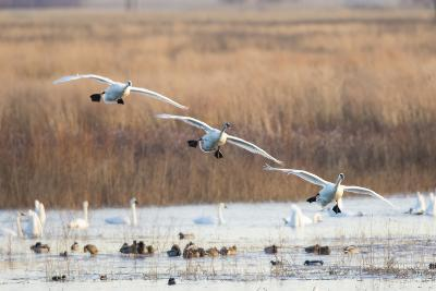 Trumpeter Swans Flying to Wetland, Riverlands Migratory Bird Sanctuary, West Alton, Montana-Richard and Susan Day-Photographic Print
