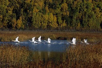Trumpeter Swans in Flight over Potter Marsh in Southcentral, Alaska During Fall-Design Pics Inc-Photographic Print