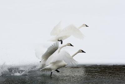 Trumpeter Swans Take Flight-Tom Murphy-Photographic Print