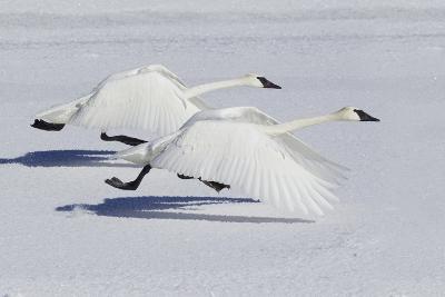 Trumpeter Swans Taking Flight-Ken Archer-Photographic Print