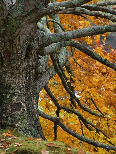 Trunk, Branches, and Fall Leaves of a Large Maple(Acer), Eastern USA-Adam Jones-Photographic Print