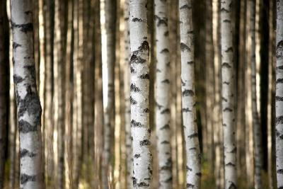 Trunks of Birch Trees-Pink Badger-Photographic Print